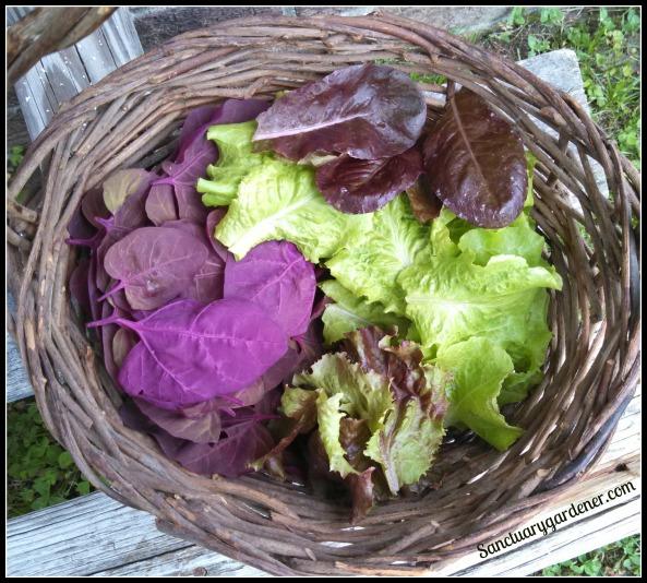 Magenta orach & lettuce harvest ~ May 25