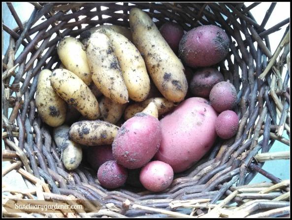 Red potato & Fingerling potato harvest ~ May 20