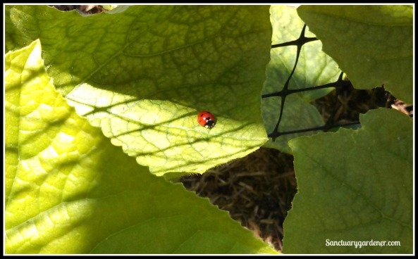 Ladybug on cucumber leaf