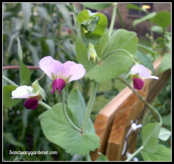 Snow pea flowers