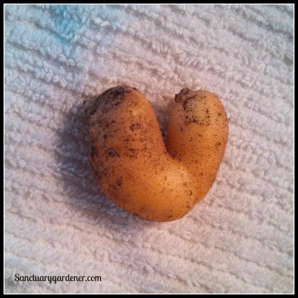 Funny Fingerling potato
