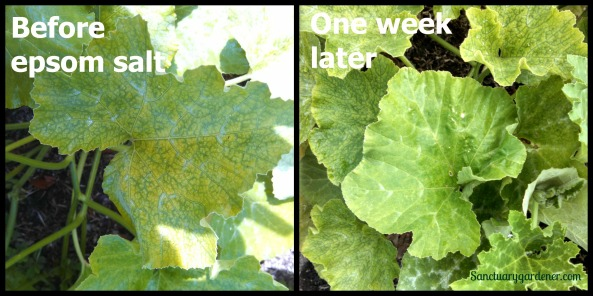 Pumpkin leaves with magnesium deficiency