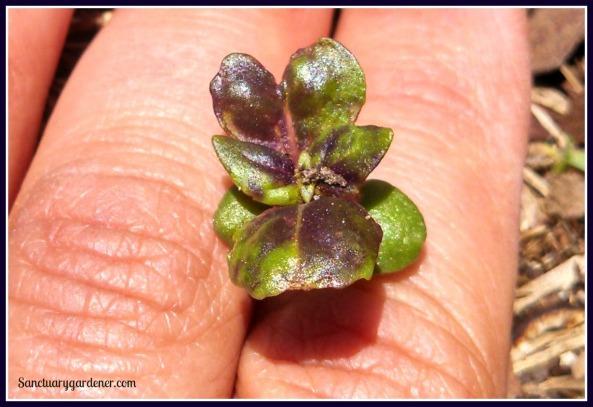 Purple basil seedling