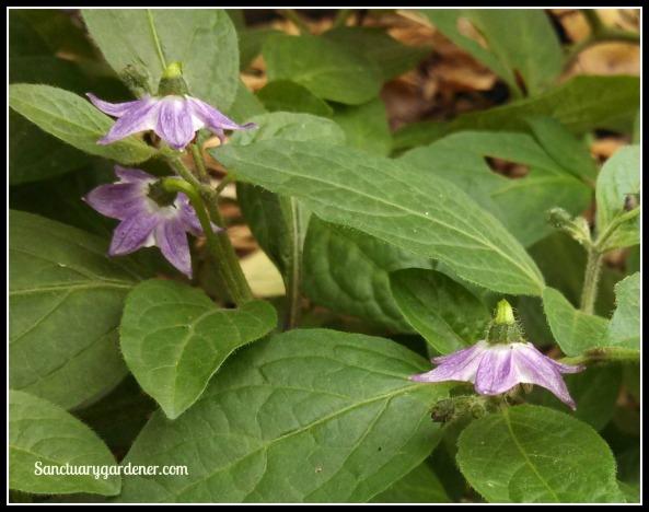 Rocoto pepper flowers