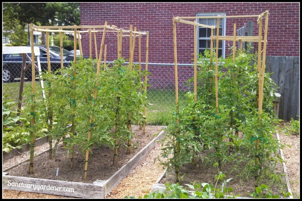 Tomato beds with stakes