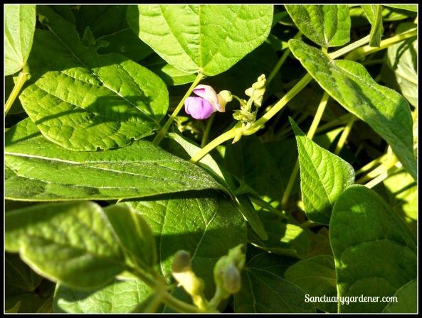 Wax bean flower