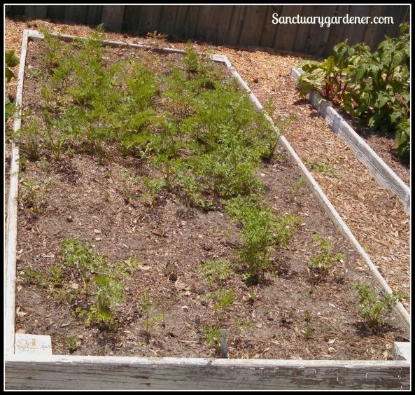 Bed 11 in June ~ Carrots