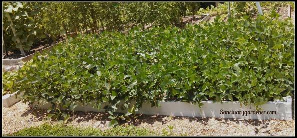 Bed 17 in June ~ Lima beans & nasturtiums