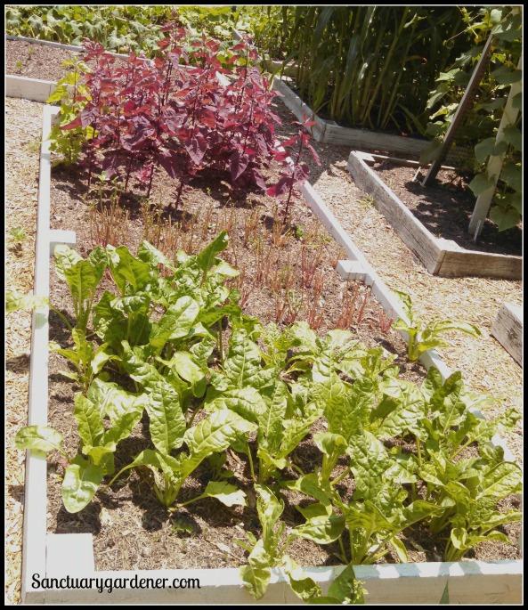 Bed 18 in June ~ Magenta orach, purslane, & perpetual spinach