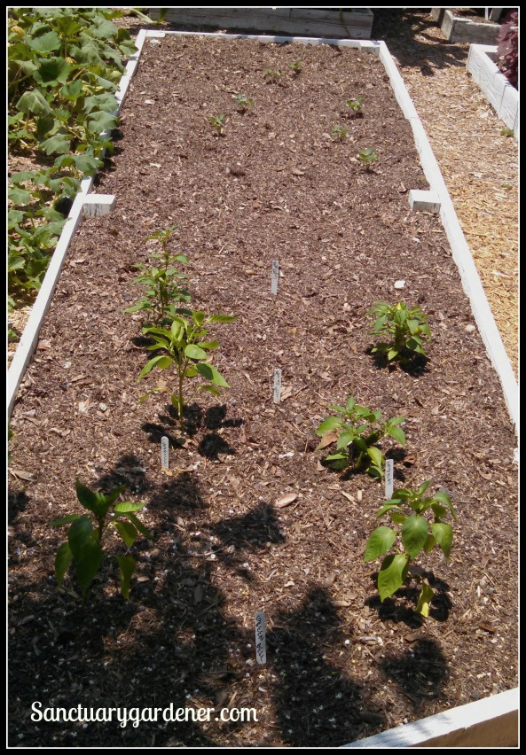 Bed 19 in June ~ Peppers & peanuts