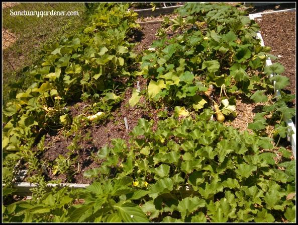 Bed 2 in June ~ Squash, pumpkin, cantaloupe, watermelon