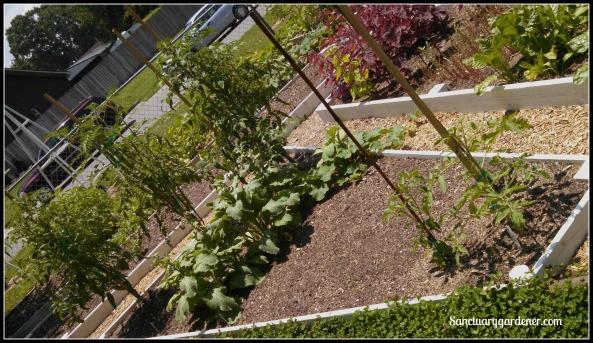 Bed 20 in June ~ Black Krim tomatoes, herbs, & peppers