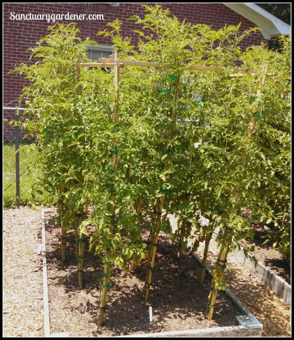 Bed 6 in June ~ Paste tomatoes