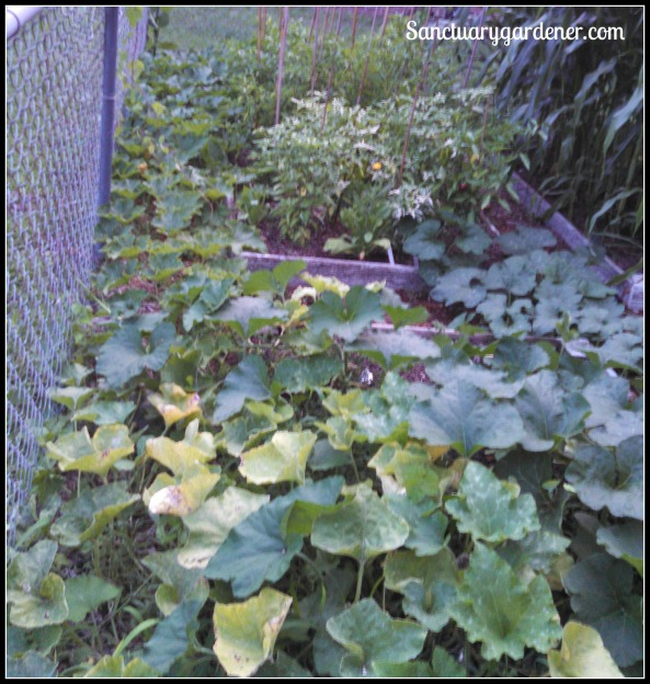 Black Futsu squash & Seminole pumpkin vines