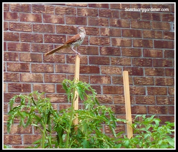 Brown thrasher on a tomato stake