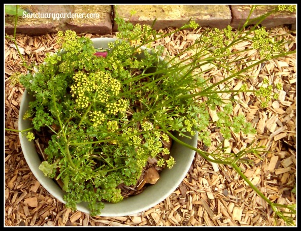 Curly Parsley bolting