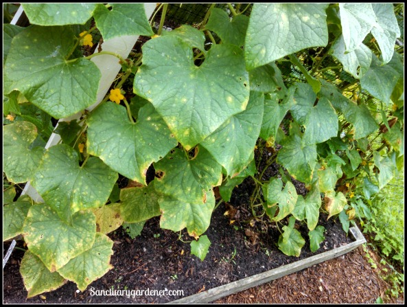 Downy mildew on Boston pickling cucumbers