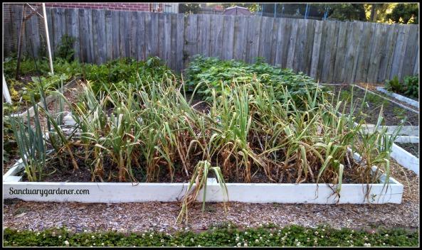 Garlic bed on harvest day