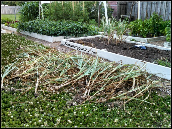 Garlic harvest in process