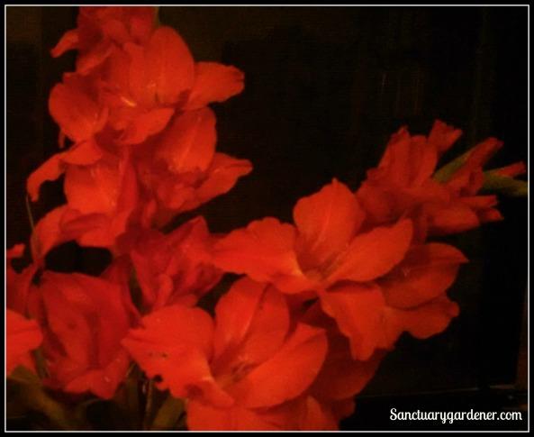 Gladioli in vase at night