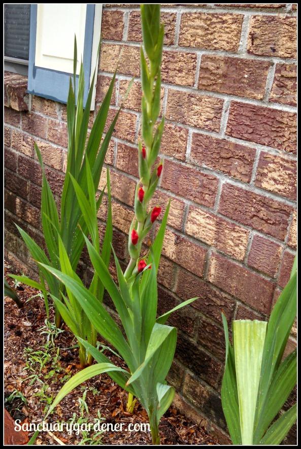 Gladiolus blooming