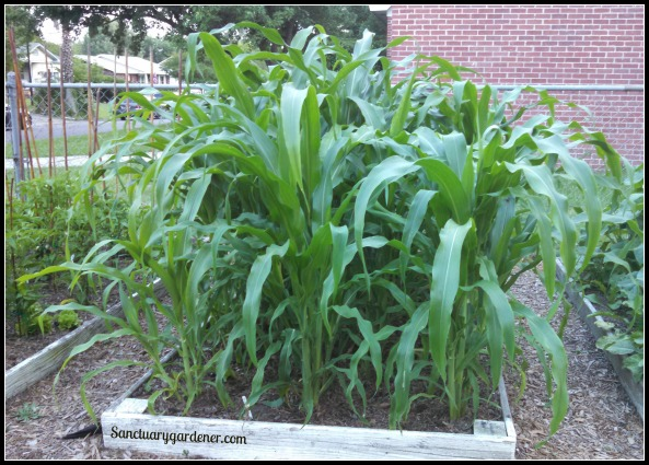 Glass Gem corn growing
