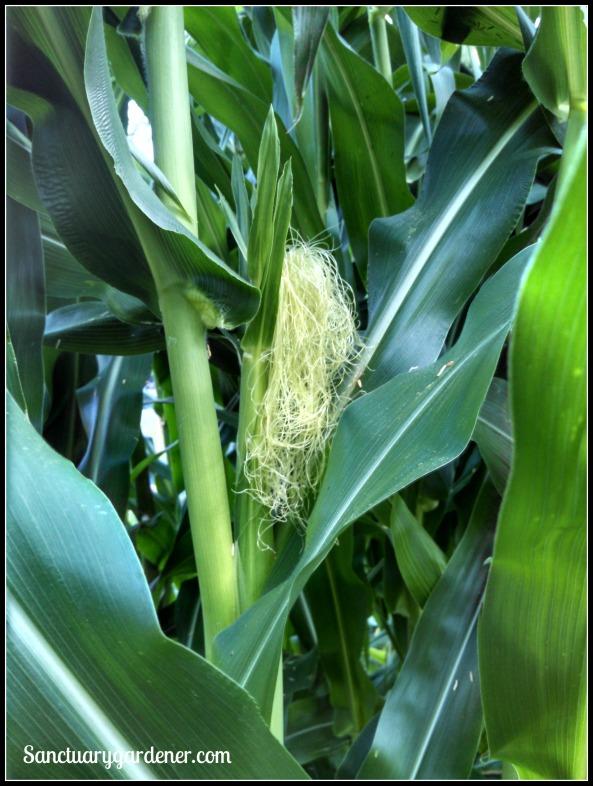 Glass Gem corn silk