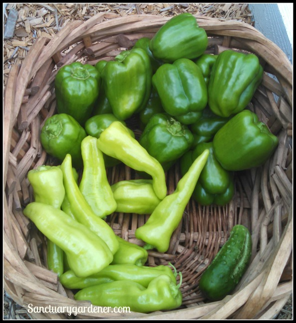 Emerald Giant green bell peppers, Boston pickling cucumber, Cubanelle peppers