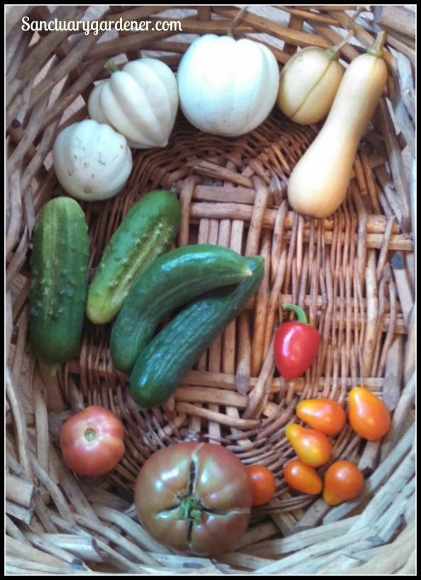 White acorn squash, butternut squash, mystery hot pepper, pear tomatoes, Cherokee purple tomato,