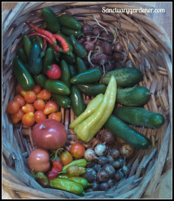Jalapenos, cayenne peppers, Boston pickling & Beit Alpha cucumbers, cubanelle peppers,