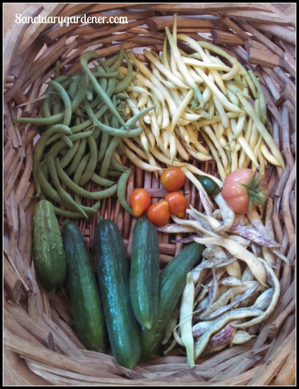 Black Valentine beans, Beurre de Rocquencourt wax beans, Mortgage Lifter tomato, Riesentraube cherry & pear tomatoes, Dragon tongue beans, Beit Alpha & Boston pickling cucumbers