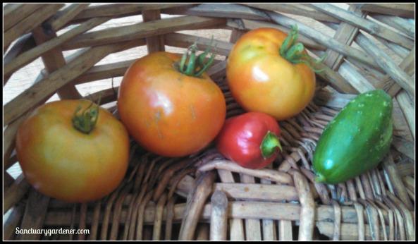 Rutgers tomatoes, mystery hot pepper, Boston pickling cucumber