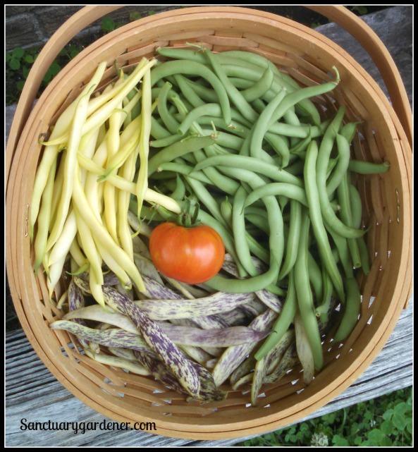 Black Valentine beans, Beurre de Rocquencourt wax beans, dragon tongue beans, Rutgers tomato