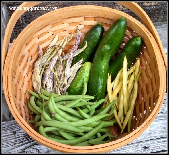 Beit Alpha cucumbers, Boston pickling cucumber, dragon tongue beans, Black Valentine beans, Beurre de Rocquencourt wax beans