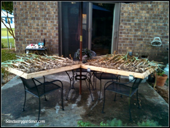 Part of garlic harvest lying on screens to dry