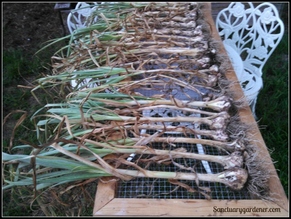 Part of garlic harvest lying on screen to dry