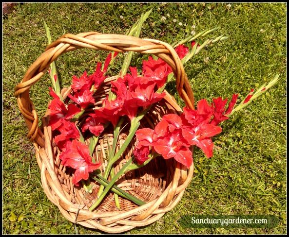 Gladioli harvest
