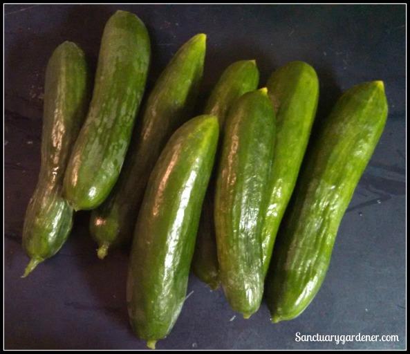 Beit Alpha cucumbers