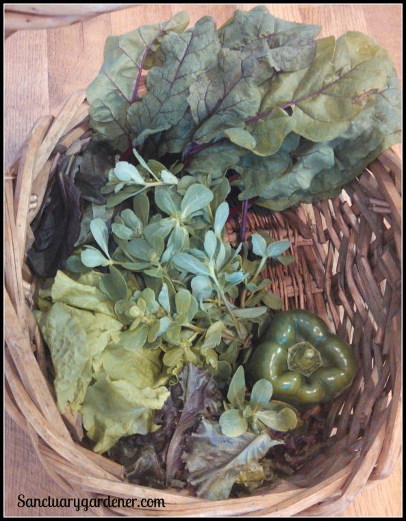Ruby chard, red romaine lettuce, purslane, black seeded simpson lettuce, red sails lettuce, green bell pepper