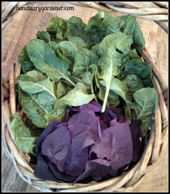 Orach & Perpetual Spinach