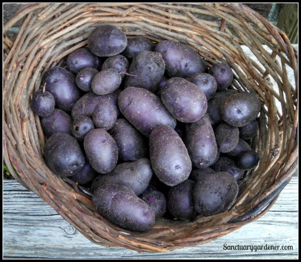 Purple potato harvest ~ May 29