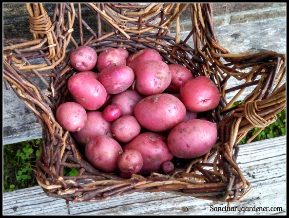 Red potato harvest ~ May 29