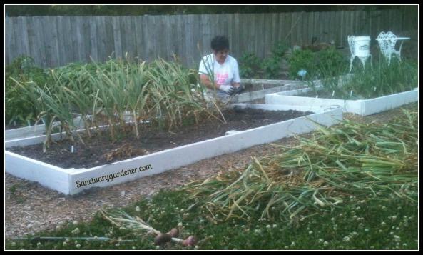 Me harvesting my garlic