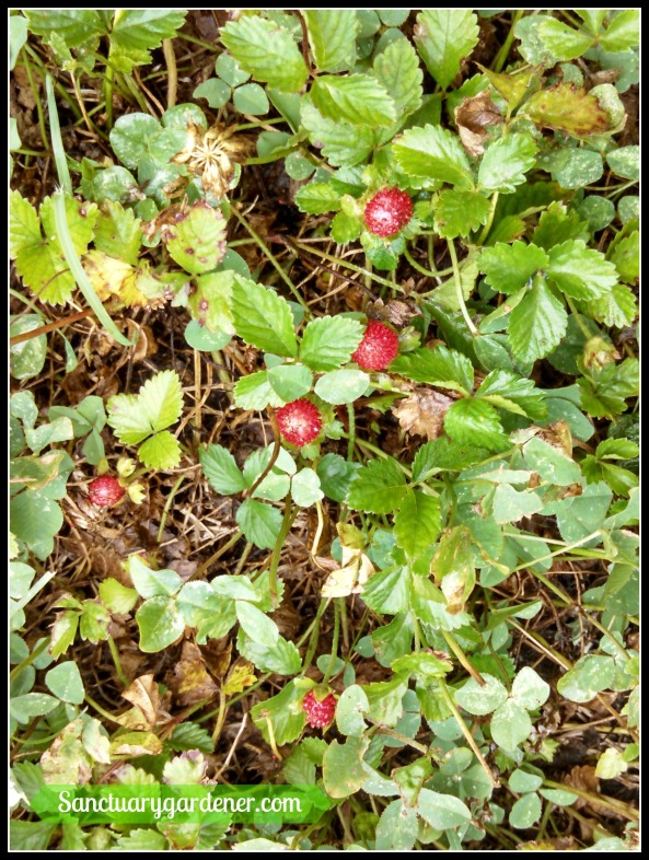 Mock Indian strawberry fruit