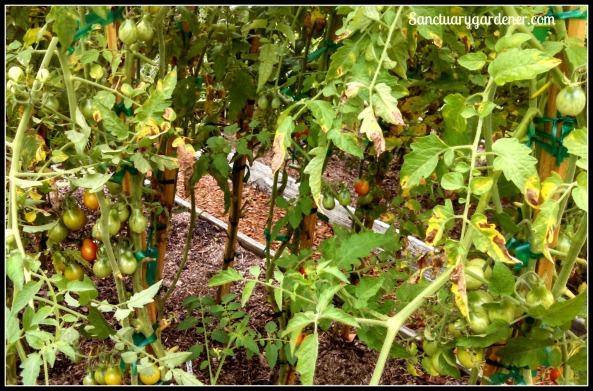 Septoria Leaf Spot on pear tomatoes
