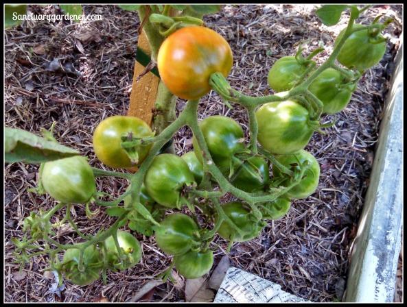Riesentraube tomato cluster