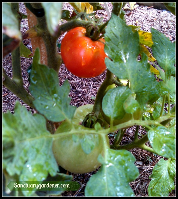 Rutgers tomato ~ first to ripen in the garden