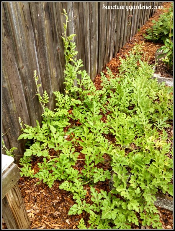 Cream of Saskatchewan watermelon vines