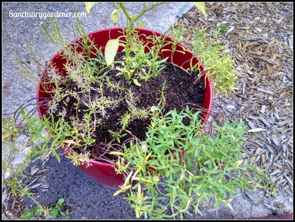 Fire ant hill in my pot