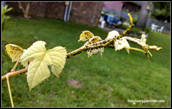 Ants and aphids on Concord grape vine